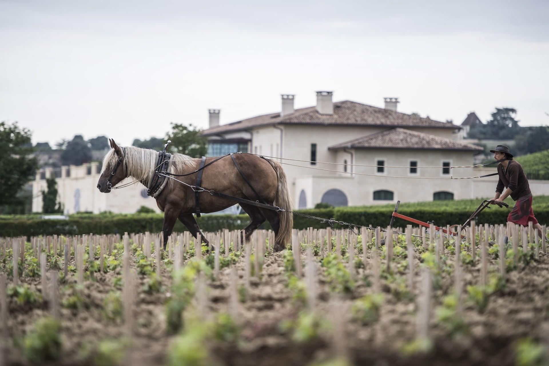 Les chevaux vignerons